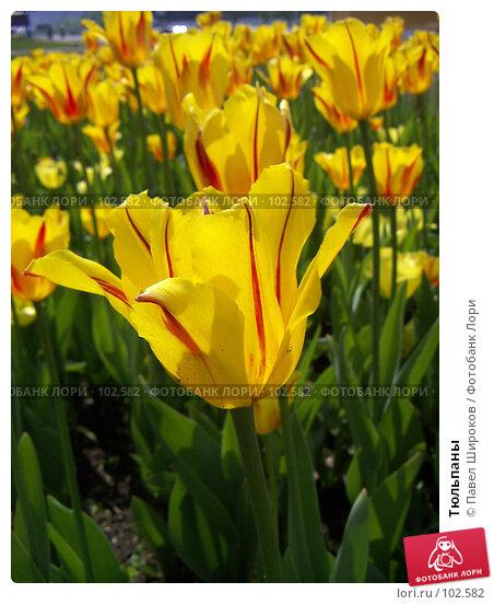 Купить «Тюльпаны», эксклюзивное фото № 102582, снято 22 ноября 2017 г. (c) Павел Широков / Фотобанк Лори