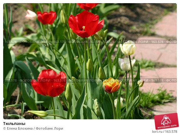 Купить «Тюльпаны», фото № 163578, снято 16 мая 2007 г. (c) Елена Блохина / Фотобанк Лори