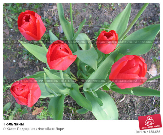 Тюльпаны, фото № 188686, снято 20 мая 2007 г. (c) Юлия Селезнева / Фотобанк Лори