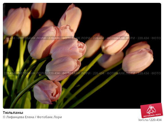 Тюльпаны, фото № 220434, снято 7 марта 2008 г. (c) Лифанцева Елена / Фотобанк Лори