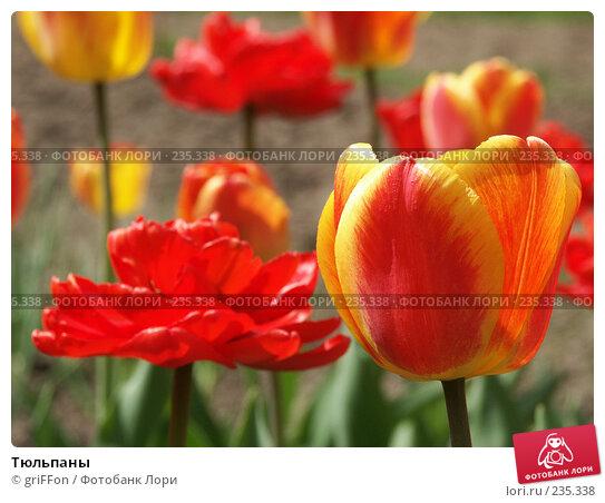 Тюльпаны, фото № 235338, снято 17 мая 2006 г. (c) griFFon / Фотобанк Лори