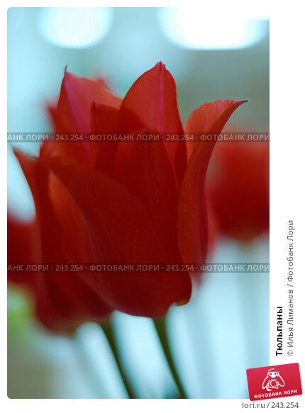 Тюльпаны, фото № 243254, снято 7 мая 2007 г. (c) Илья Лиманов / Фотобанк Лори