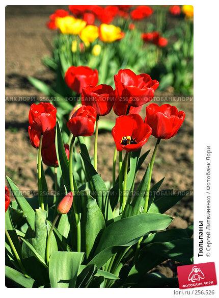 Тюльпаны, фото № 256526, снято 19 апреля 2008 г. (c) Сергей Литвиненко / Фотобанк Лори