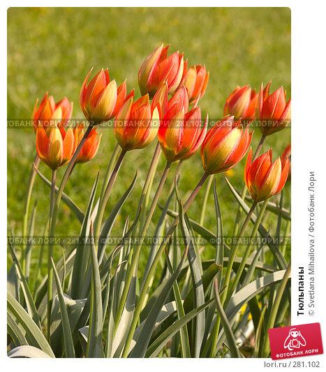 Тюльпаны, фото № 281102, снято 11 мая 2008 г. (c) Svetlana Mihailova / Фотобанк Лори