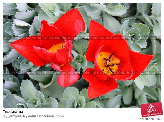 Купить «Тюльпаны», эксклюзивное фото № 288166, снято 22 апреля 2008 г. (c) Дмитрий Неумоин / Фотобанк Лори