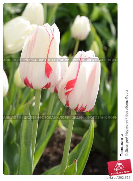 Тюльпаны, эксклюзивное фото № 292694, снято 24 апреля 2008 г. (c) Дмитрий Неумоин / Фотобанк Лори