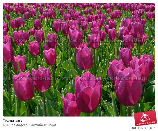 Тюльпаны, фото № 310618, снято 5 мая 2006 г. (c) A Челмодеев / Фотобанк Лори