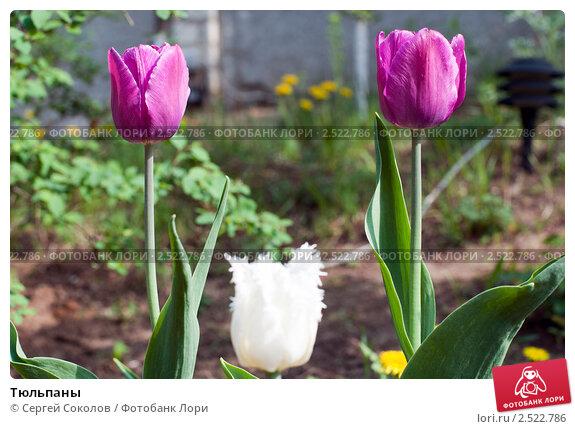 Тюльпаны. Стоковое фото, фотограф Сергей Соколов / Фотобанк Лори