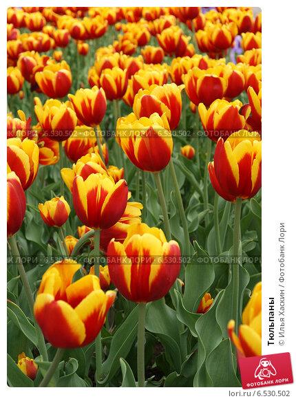 Тюльпаны. Стоковое фото, фотограф Илья Хаскин / Фотобанк Лори