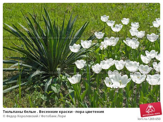 Купить «Тюльпаны белые . Весенние краски - пора цветения», фото № 269650, снято 1 мая 2008 г. (c) Федор Королевский / Фотобанк Лори