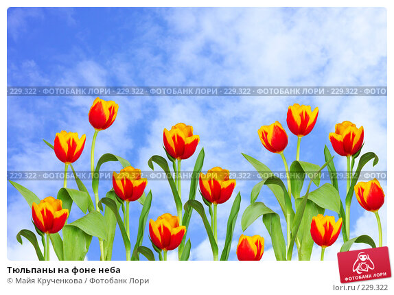 Купить «Тюльпаны на фоне неба», фото № 229322, снято 16 марта 2008 г. (c) Майя Крученкова / Фотобанк Лори