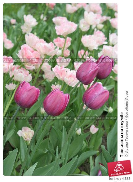 Тюльпаны на клумбе, эксклюзивное фото № 4338, снято 29 мая 2006 г. (c) Ирина Терентьева / Фотобанк Лори