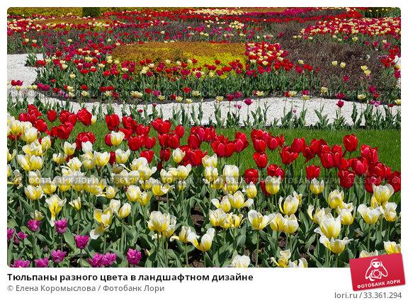 Купить «Тюльпаны разного цвета в ландшафтном дизайне», фото № 33361294, снято 7 мая 2019 г. (c) Елена Коромыслова / Фотобанк Лори