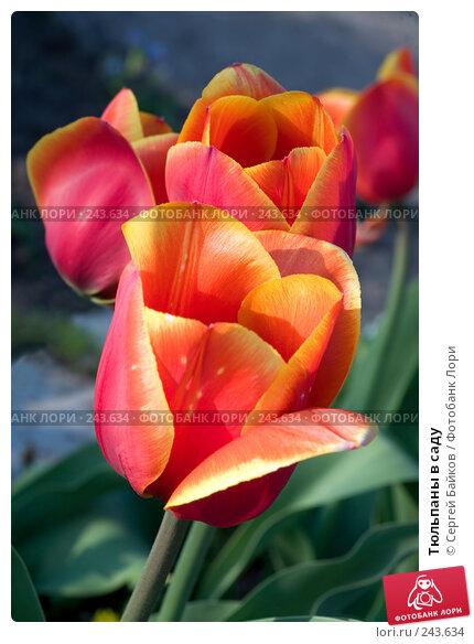 Купить «Тюльпаны в саду», фото № 243634, снято 16 мая 2007 г. (c) Сергей Байков / Фотобанк Лори