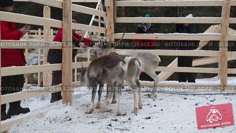 Туристы кормят и фотографируют молодых северных оленей, видеоролик № 25663266, снято 4 марта 2017 г. (c) Наталья Волкова / Фотобанк Лори