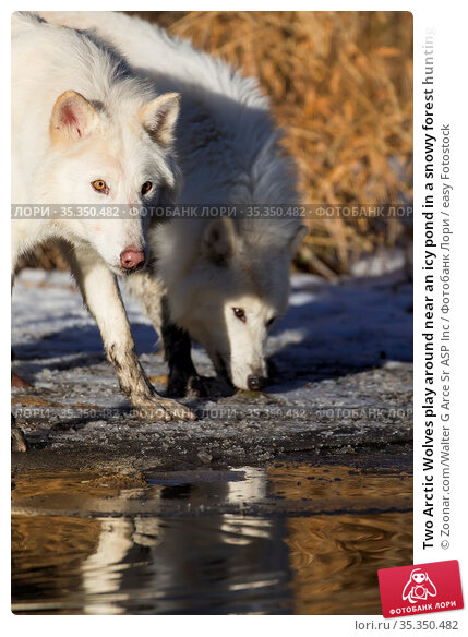 Two Arctic Wolves play around near an icy pond in a snowy forest hunting... Стоковое фото, фотограф Zoonar.com/Walter G Arce Sr ASP Inc / easy Fotostock / Фотобанк Лори