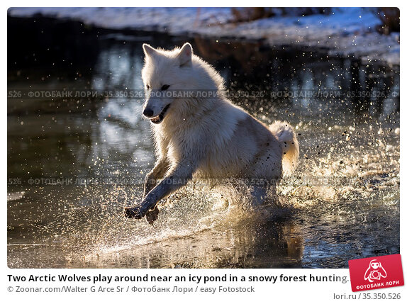 Two Arctic Wolves play around near an icy pond in a snowy forest hunting... Стоковое фото, фотограф Zoonar.com/Walter G Arce Sr / easy Fotostock / Фотобанк Лори