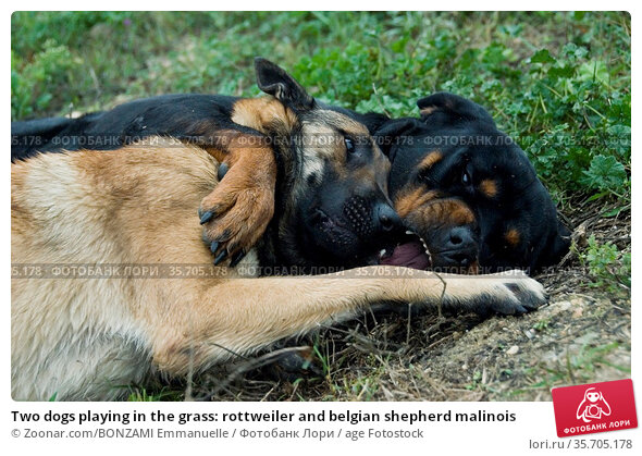 Two dogs playing in the grass: rottweiler and belgian shepherd malinois. Стоковое фото, фотограф Zoonar.com/BONZAMI Emmanuelle / age Fotostock / Фотобанк Лори