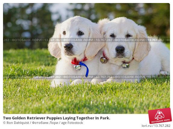 Купить «Two Golden Retriever Puppies Laying Together In Park.», фото № 13767282, снято 19 апреля 2019 г. (c) age Fotostock / Фотобанк Лори