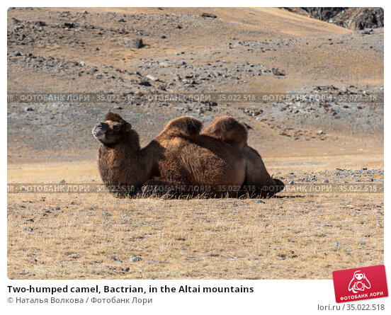 Two-humped camel, Bactrian, in the Altai mountains. Стоковое фото, фотограф Наталья Волкова / Фотобанк Лори