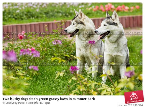 Купить «Two husky dogs sit on green grassy lawn in summer park», фото № 25836394, снято 23 июля 2015 г. (c) Losevsky Pavel / Фотобанк Лори