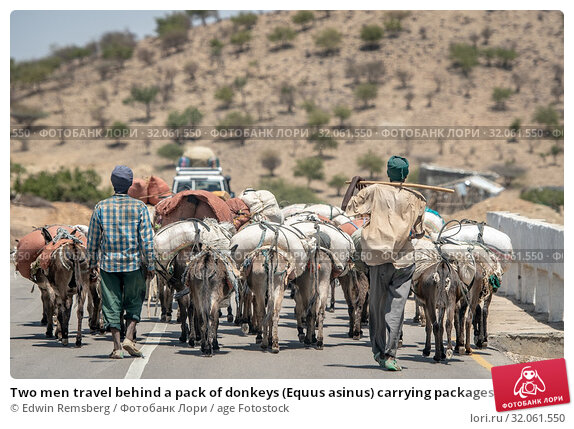 Two men travel behind a pack of donkeys (Equus asinus) carrying packages, Danakil Depression , Ethiopia. Стоковое фото, фотограф Edwin Remsberg / age Fotostock / Фотобанк Лори