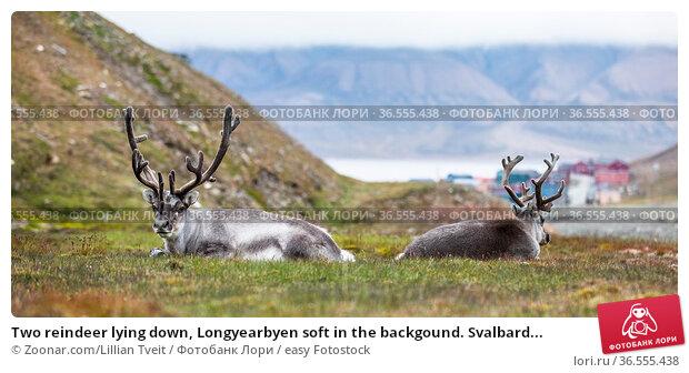 Two reindeer lying down, Longyearbyen soft in the backgound. Svalbard... Стоковое фото, фотограф Zoonar.com/Lillian Tveit / easy Fotostock / Фотобанк Лори