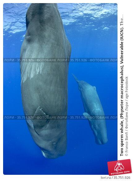 Two sperm whale, (Physeter macrocephalus), Vulnerable (IUCN). The... Стоковое фото, фотограф Franco Banfi / age Fotostock / Фотобанк Лори