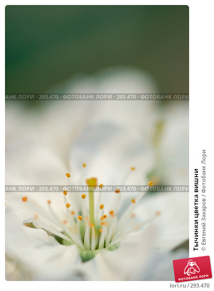 Тычинки цветка вишни, фото № 293470, снято 2 мая 2008 г. (c) Евгений Захаров / Фотобанк Лори