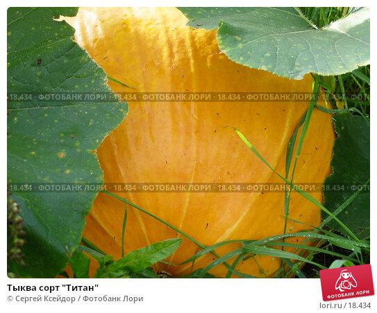 "Тыква сорт ""Титан"", фото № 18434, снято 3 сентября 2006 г. (c) Сергей Ксейдор / Фотобанк Лори"