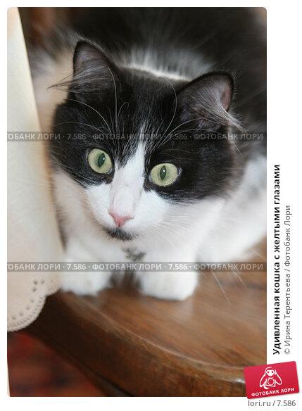 Купить «Удивленная кошка с желтыми глазами», эксклюзивное фото № 7586, снято 29 июля 2005 г. (c) Ирина Терентьева / Фотобанк Лори