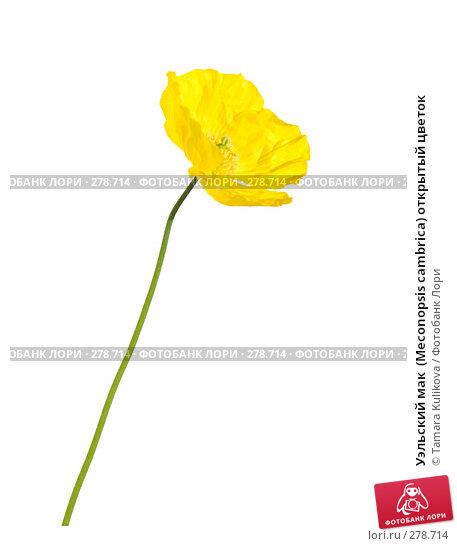 Уэльский мак  (Meconopsis cambrica) открытый цветок, фото № 278714, снято 9 мая 2008 г. (c) Tamara Kulikova / Фотобанк Лори