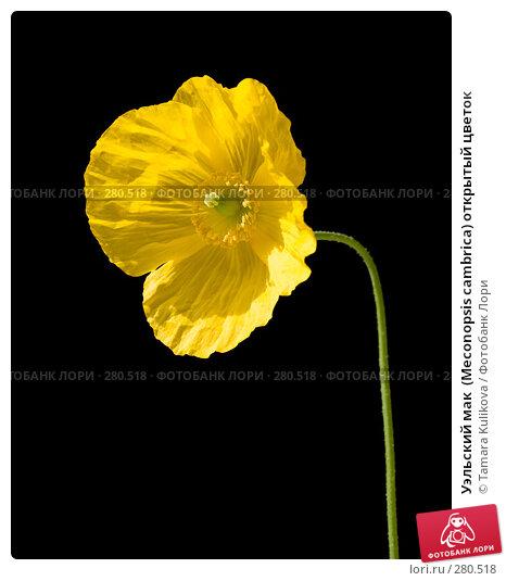 Купить «Уэльский мак  (Meconopsis cambrica) открытый цветок», фото № 280518, снято 10 мая 2008 г. (c) Tamara Kulikova / Фотобанк Лори