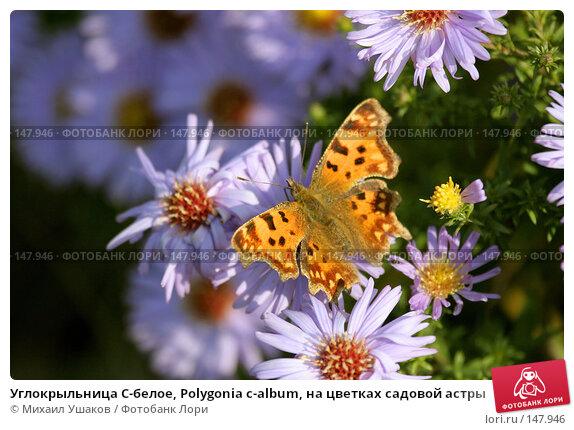 Углокрыльница С-белое, Polygonia c-album, на цветках садовой астры, фото № 147946, снято 26 октября 2007 г. (c) Михаил Ушаков / Фотобанк Лори