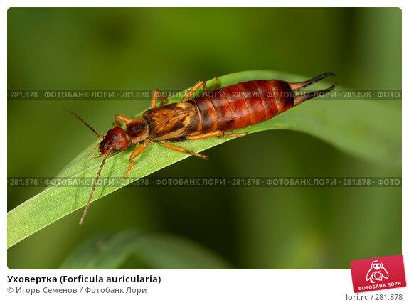 Купить «Уховертка (Forficula auricularia)», фото № 281878, снято 19 августа 2007 г. (c) Игорь Семенов / Фотобанк Лори