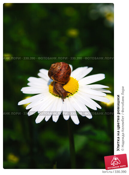 Улитка на цветке ромашки, фото № 330390, снято 12 июня 2008 г. (c) Надежда Келембет / Фотобанк Лори