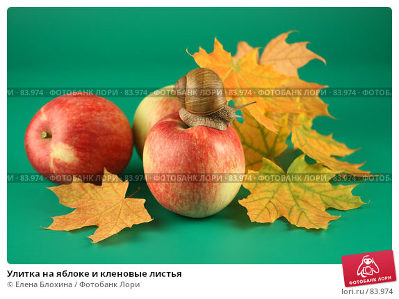 Купить «Улитка на яблоке и кленовые листья», фото № 83974, снято 13 сентября 2007 г. (c) Елена Блохина / Фотобанк Лори