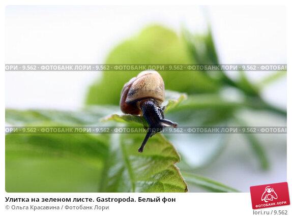 Улитка на зеленом листе. Gastropoda. Белый фон, фото № 9562, снято 25 мая 2006 г. (c) Ольга Красавина / Фотобанк Лори