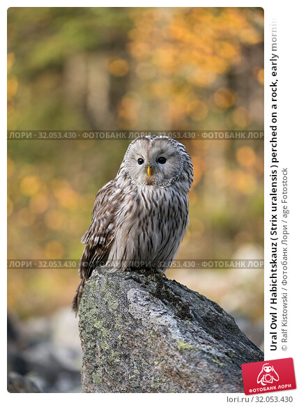 Ural Owl / Habichtskauz ( Strix uralensis ) perched on a rock, early morning, first sunlight shines on autumnal coloured woods in the background. Стоковое фото, фотограф Ralf Kistowski / age Fotostock / Фотобанк Лори