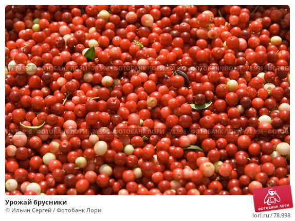 Купить «Урожай брусники», фото № 78998, снято 19 августа 2007 г. (c) Ильин Сергей / Фотобанк Лори