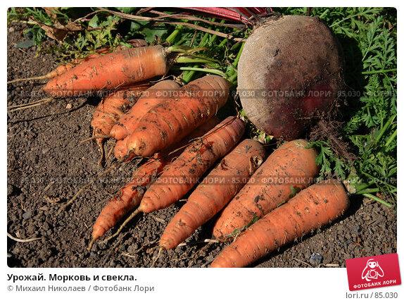 Урожай. Морковь и свекла., фото № 85030, снято 9 сентября 2007 г. (c) Михаил Николаев / Фотобанк Лори