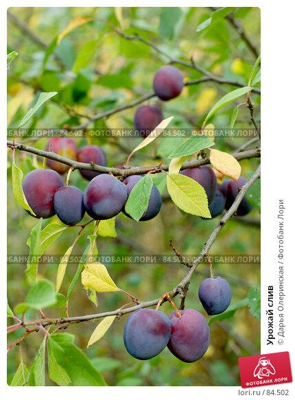 Урожай слив, фото № 84502, снято 20 августа 2007 г. (c) Дарья Олеринская / Фотобанк Лори