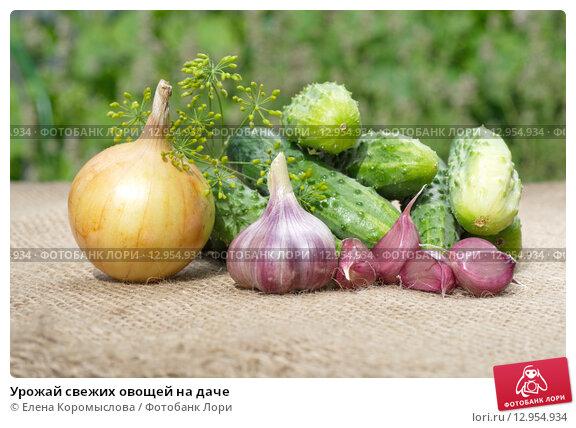Купить «Урожай свежих овощей на даче», эксклюзивное фото № 12954934, снято 3 августа 2015 г. (c) Елена Коромыслова / Фотобанк Лори