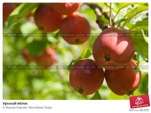 Урожай яблок, фото № 85078, снято 8 сентября 2007 г. (c) Ильин Сергей / Фотобанк Лори