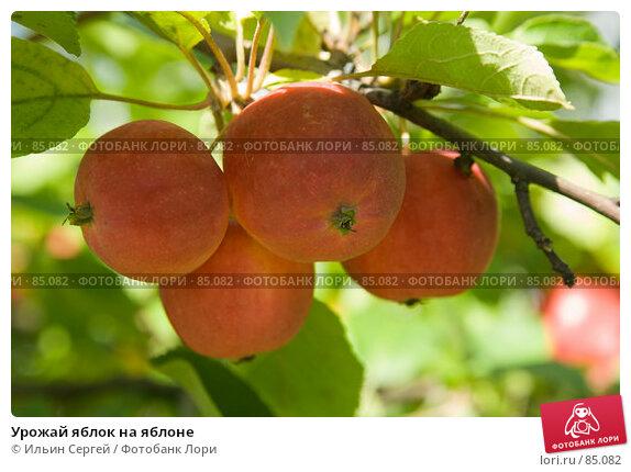Урожай яблок на яблоне, фото № 85082, снято 8 сентября 2007 г. (c) Ильин Сергей / Фотобанк Лори