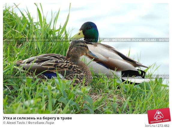 Утка и селезень на берегу в траве, эксклюзивное фото № 272482, снято 2 мая 2008 г. (c) Alexei Tavix / Фотобанк Лори