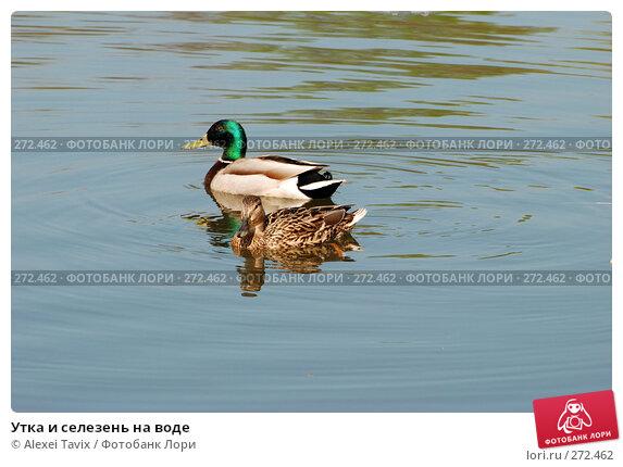 Утка и селезень на воде, эксклюзивное фото № 272462, снято 2 мая 2008 г. (c) Alexei Tavix / Фотобанк Лори