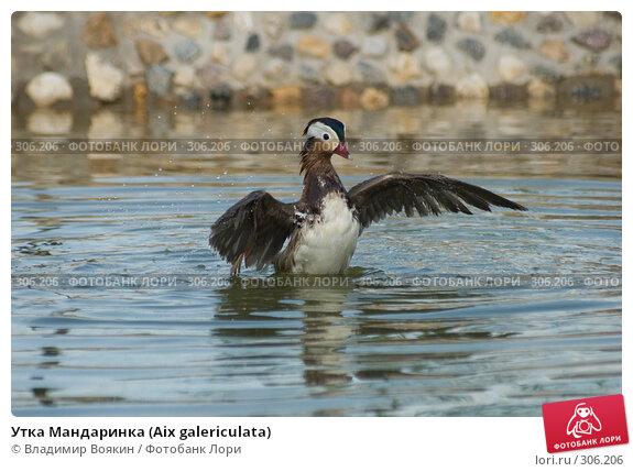 Утка Мандаринка (Aix galericulata), фото № 306206, снято 17 мая 2008 г. (c) Владимир Воякин / Фотобанк Лори