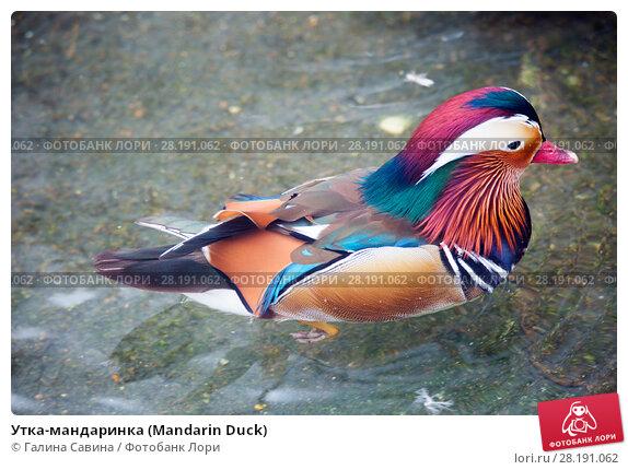 Купить «Утка-мандаринка (Mandarin Duck)», фото № 28191062, снято 20 февраля 2015 г. (c) Галина Савина / Фотобанк Лори