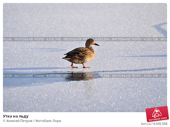 Утка на льду. Стоковое фото, фотограф Алексей Петров / Фотобанк Лори